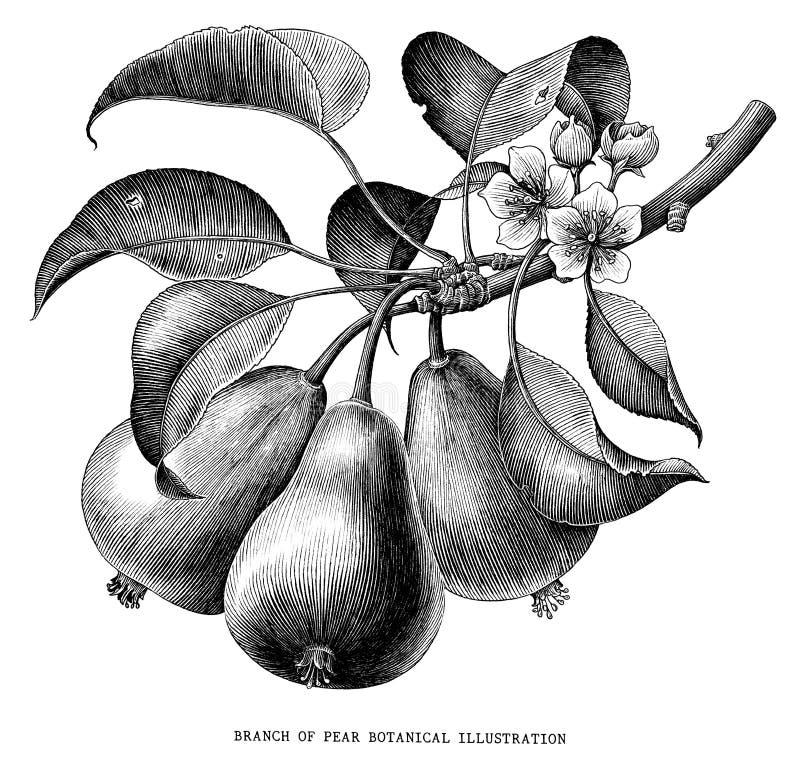 Ramo dell'illustrazione d'incisione d'annata botanica della pera isolata illustrazione vettoriale