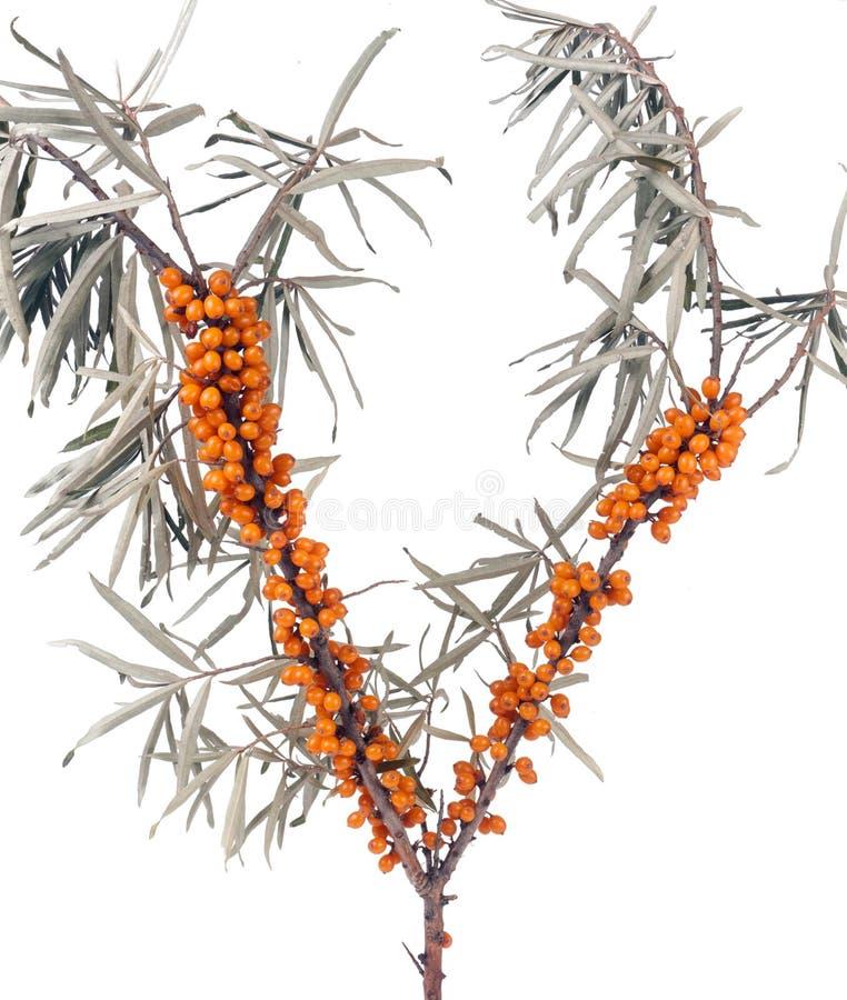 Ramo dell'olivello spinoso con le foglie isolate su fondo bianco fotografia stock libera da diritti
