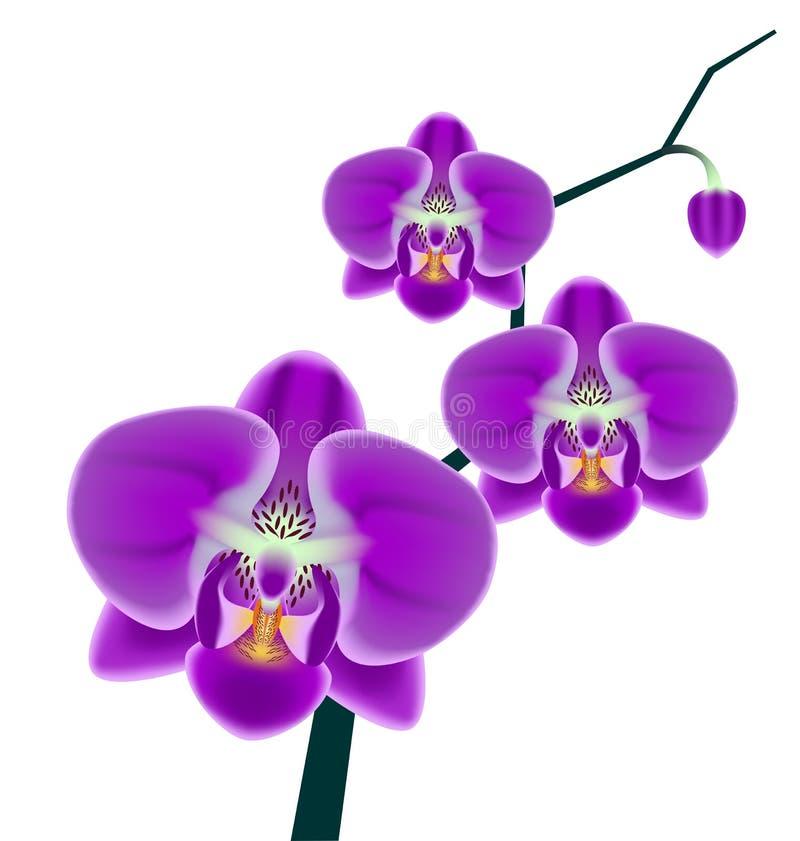 Ramo dell'orchidea royalty illustrazione gratis