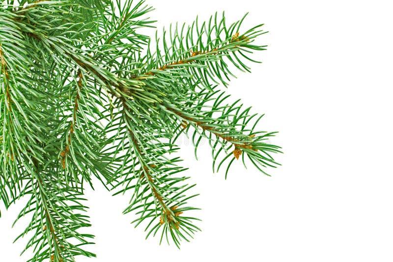 ramo dell'Pelliccia-albero immagine stock libera da diritti