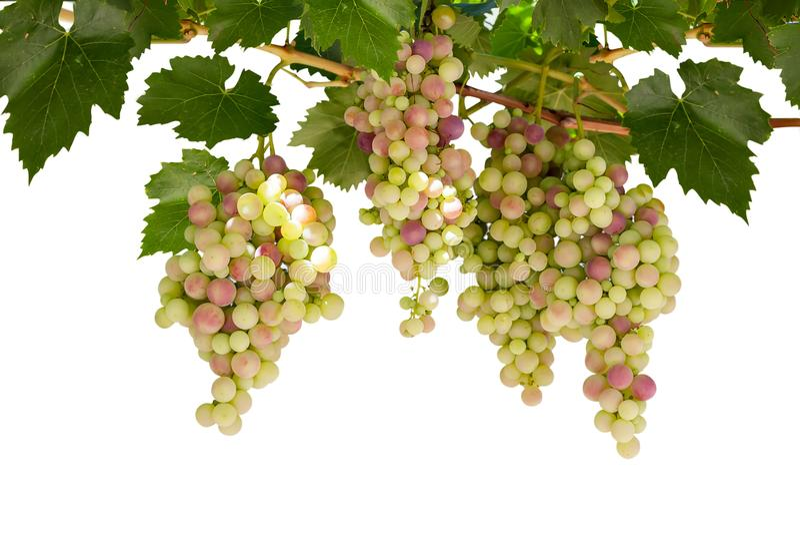 Ramo dell'uva isolata, su fondo bianco immagine stock