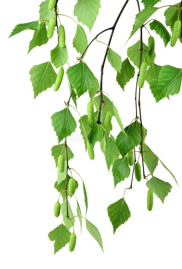 Ramo della betulla con i germogli e le foglie, isolato senza ombra fotografia stock libera da diritti