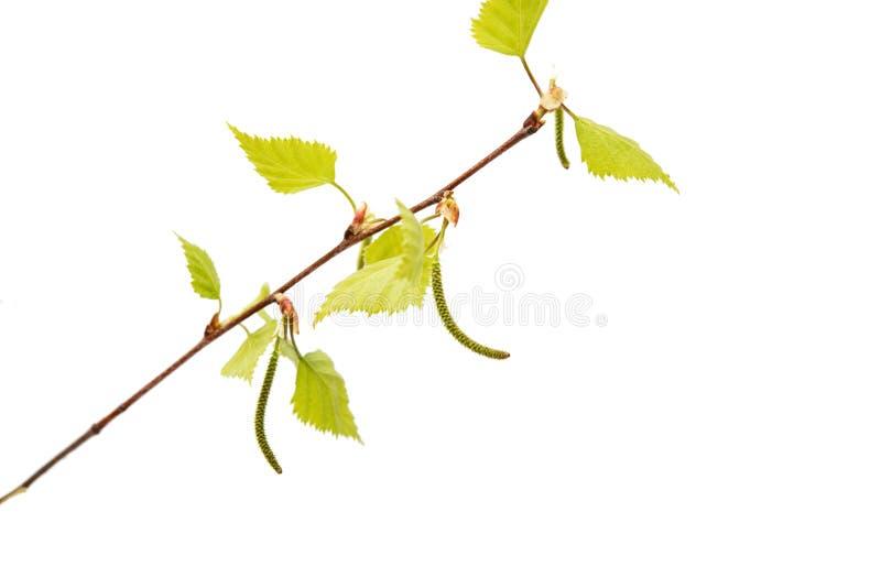 Ramo della betulla con le giovani foglie fotografie stock