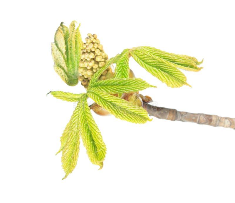 Ramo della castagna d'India con i germogli di fiore e le giovani foglie verdi isolati su fondo bianco immagine stock libera da diritti