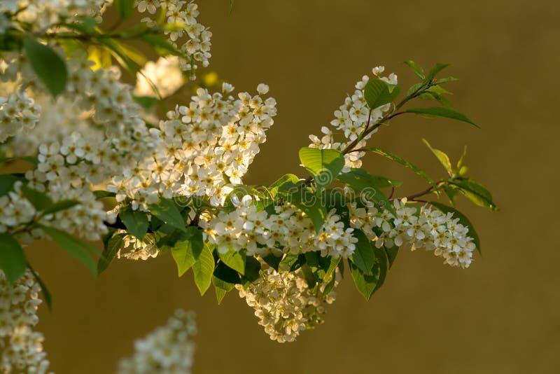 Ramo della ciliegia di uccello in fiore immagini stock libere da diritti