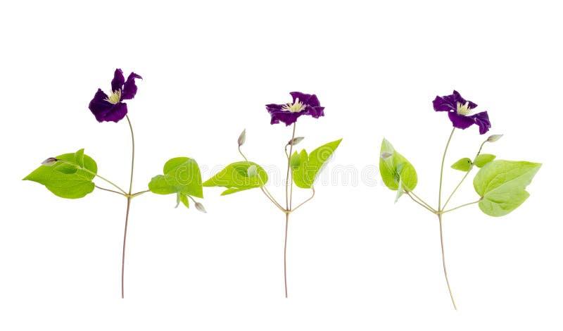Ramo della clematide porpora con le foglie verdi isolate su fondo bianco fotografie stock libere da diritti