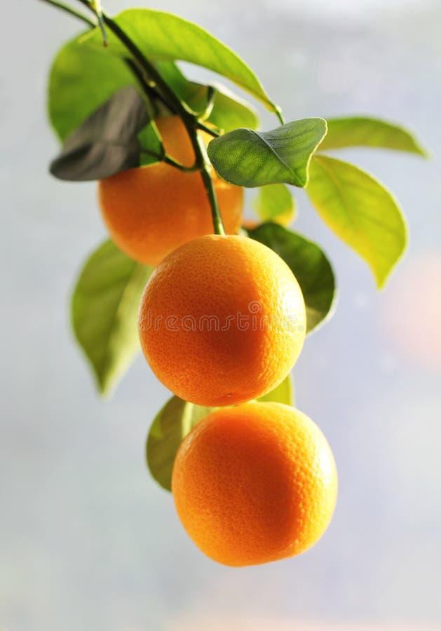 Ramo della fine dell'albero di kumquat su immagine stock libera da diritti