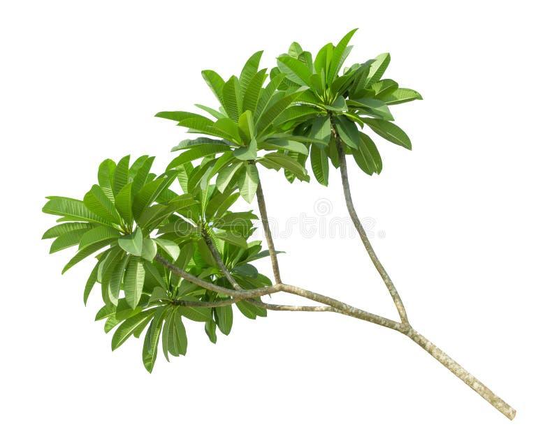 Ramo della foglia verde del frangipane isolata su bianco immagine stock libera da diritti