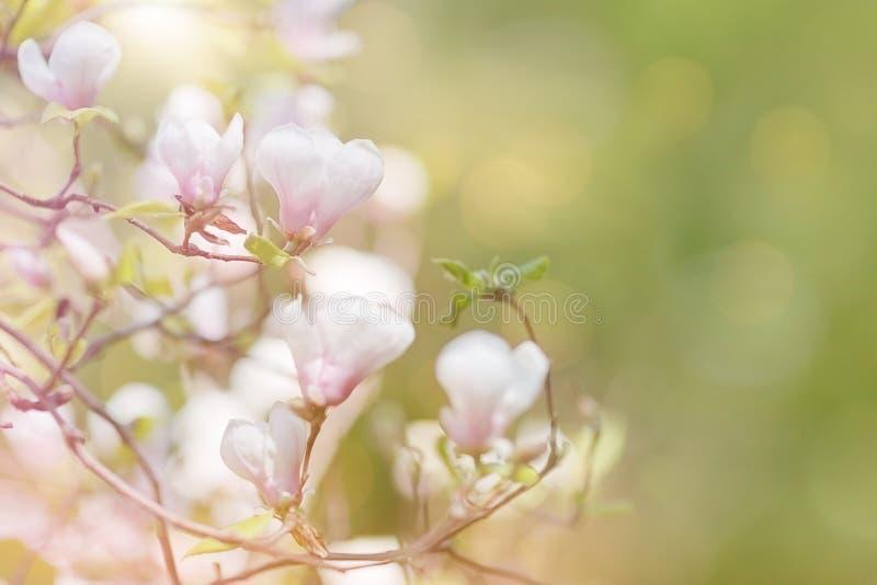 Ramo della magnolia del fiore fotografia stock libera da diritti