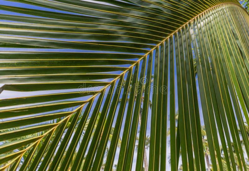 Ramo della palma immagine stock