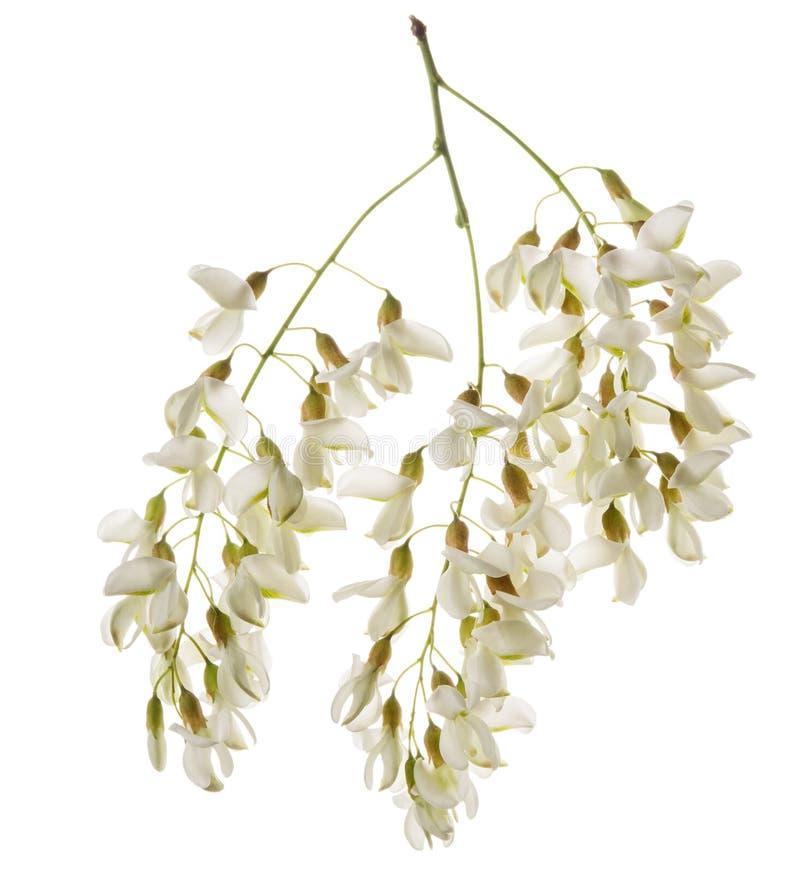 Ramo della primavera dell'acacia o del Robinia con i fiori isolati su fondo bianco Pianta aromatica medicinale dell'ape del miele fotografia stock