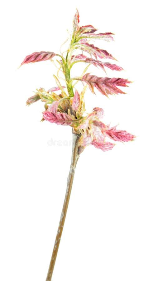 Ramo della primavera della quercia con le giovani foglie rossastre isolate su fondo bianco fotografie stock libere da diritti