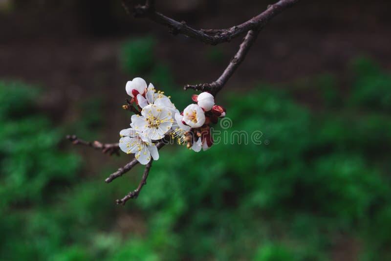 Ramo della primavera di un albero con i piccoli fiori for Fiori piccoli bianchi