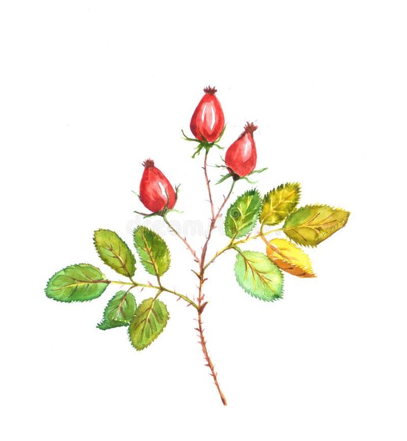 Ramo della rosa canina di autunno fotografia stock