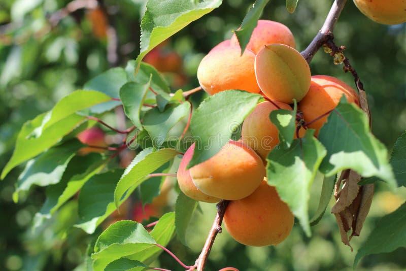 Ramo delle albicocche mature nel frutteto fotografie stock libere da diritti