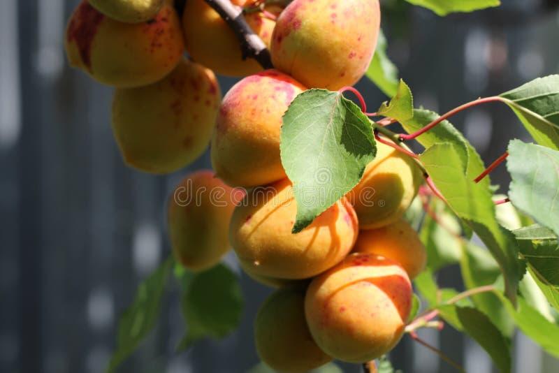 Ramo delle albicocche mature nel frutteto immagini stock libere da diritti