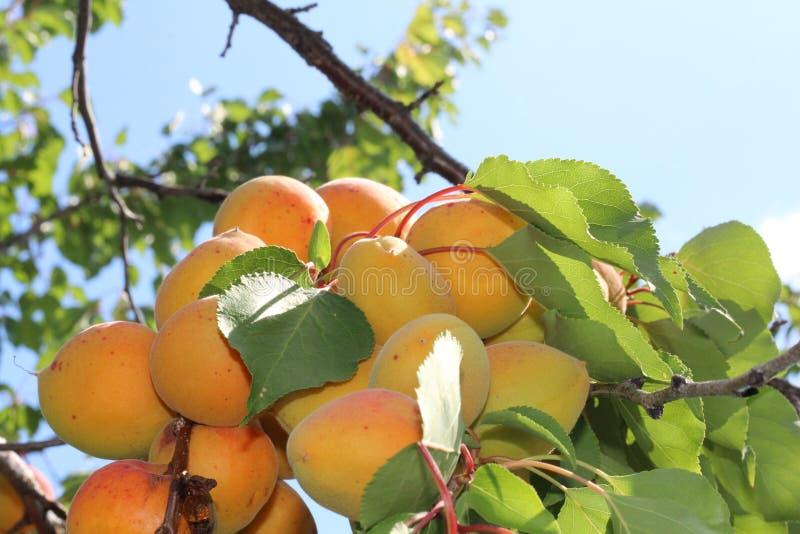 Ramo delle albicocche mature nel frutteto immagine stock