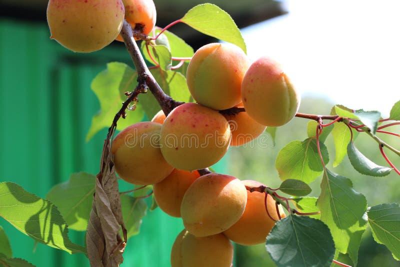 Ramo delle albicocche mature nel frutteto fotografie stock