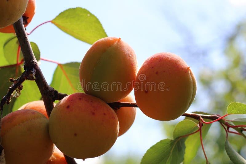Ramo delle albicocche mature nel frutteto fotografia stock libera da diritti
