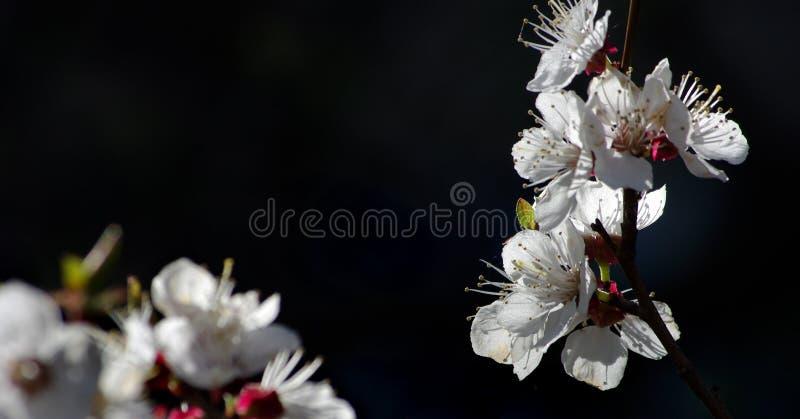 Ramo delle albicocche sboccianti su un fondo nero Copi gli spazi fotografia stock