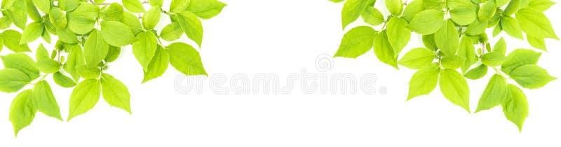 Ramo di albero bianco di estate della primavera del fondo delle foglie verdi fotografia stock libera da diritti