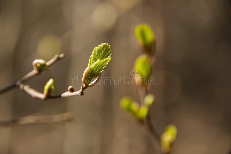 Ramo di albero con le giovani foglie verdi La sorgente sta venendo fotografia stock libera da diritti