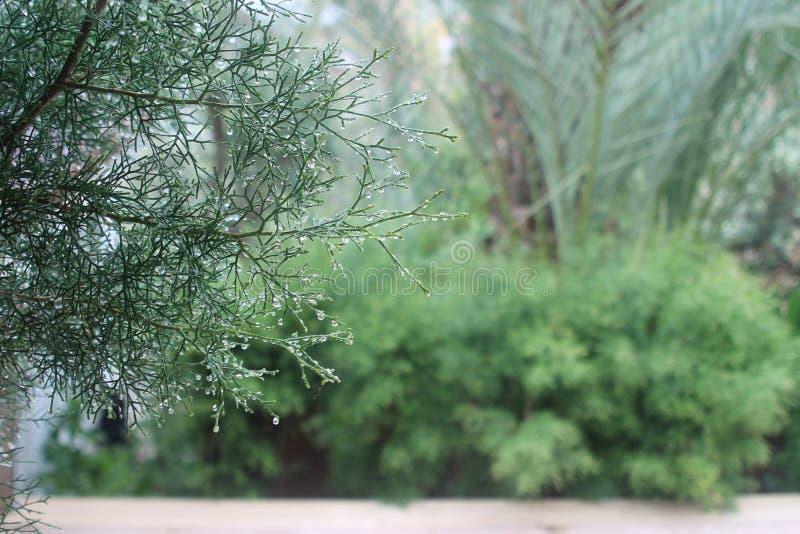 Ramo di albero del cedro con le gocce di pioggia fotografia stock