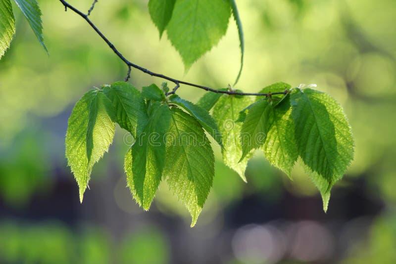 Ramo di albero del faggio di estate fotografia stock libera da diritti
