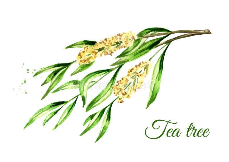 Ramo di albero del t? Cosmetici e pianta medicinale Illustrazione disegnata a mano dell'acquerello, isolata su fondo bianco illustrazione vettoriale