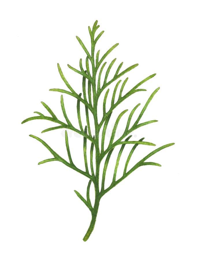 Ramo di albero del thuja dell'acquerello isolato su bianco royalty illustrazione gratis
