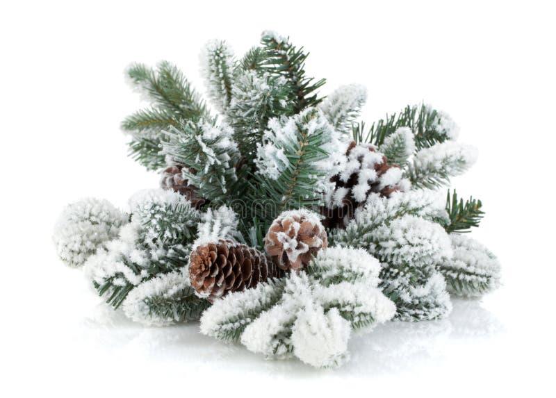 Ramo di albero dell'abete con i coni coperti di neve fotografie stock