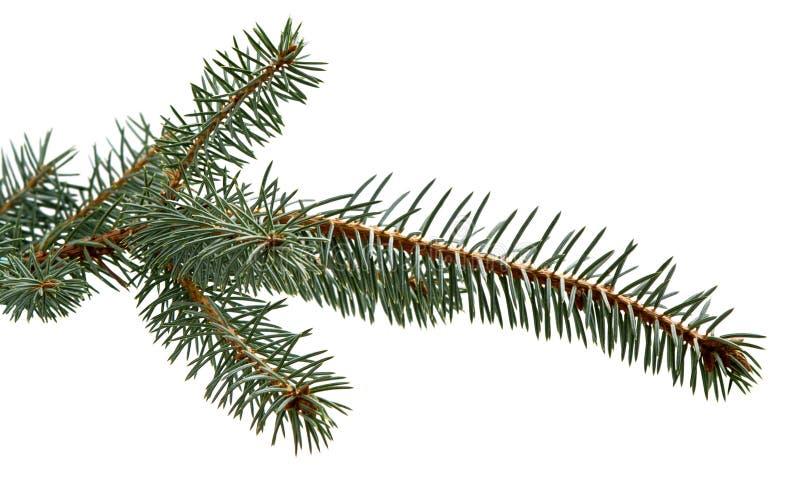 Ramo di albero dell'abete Ramo del pino Priorità bassa di natale immagini stock