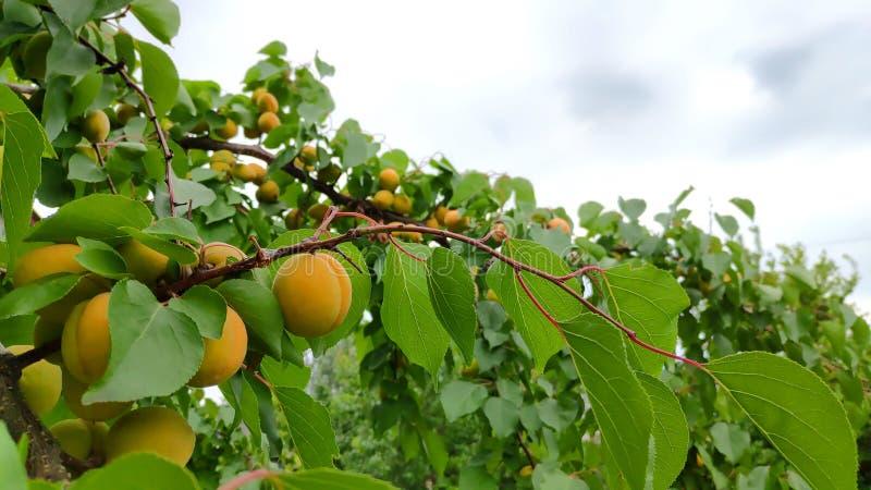 Ramo di albero dell'albicocca con i frutti succosi con il cielo su fondo fotografia stock libera da diritti