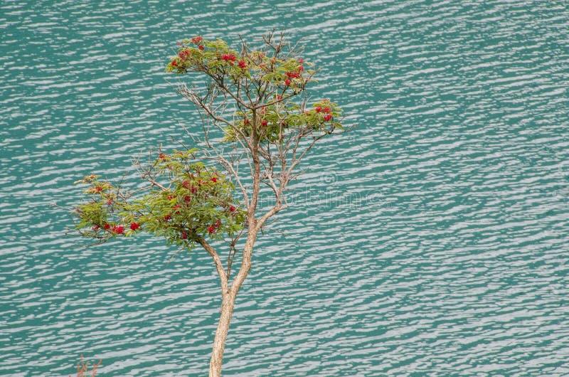 Ramo di albero della sorba fotografie stock