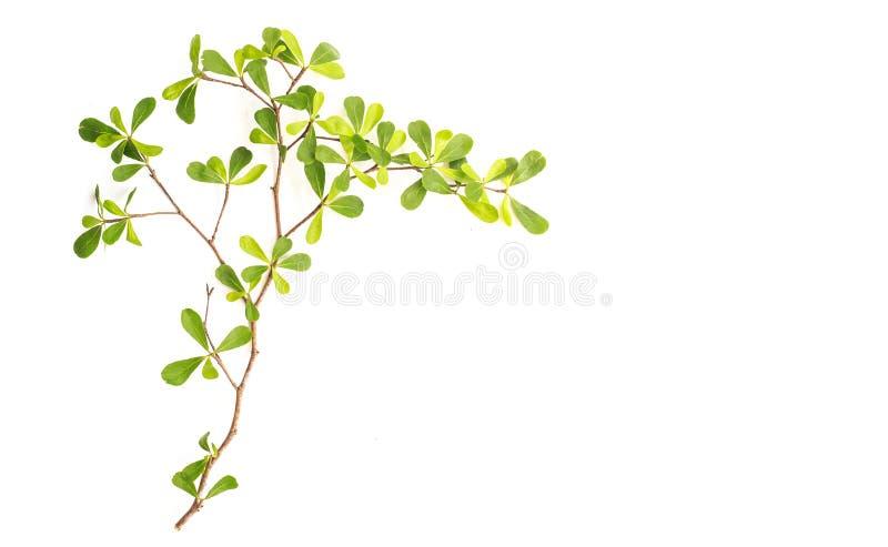 Ramo di albero e foglia verde isolati su fondo bianco fotografie stock libere da diritti