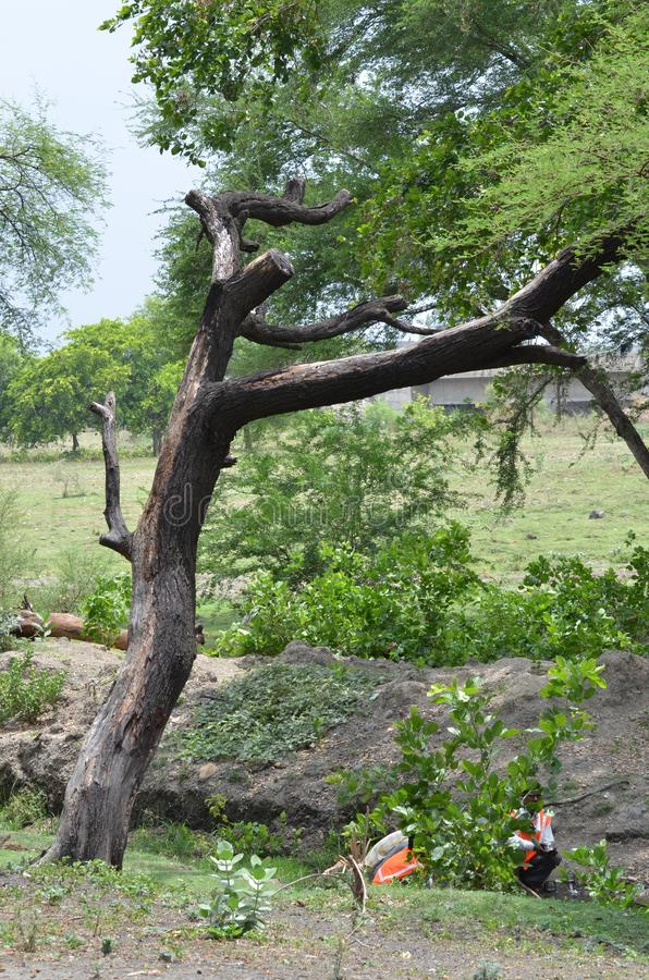 Ramo di albero di Nim fotografie stock