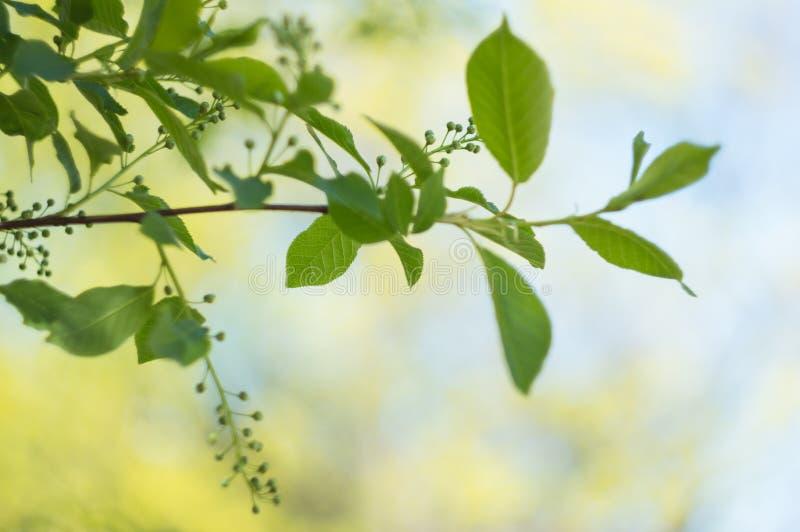 Ramo di albero in primavera con le giovani foglie su un fondo vago Fuoco molle Copi lo spazio Sfondo naturale fotografia stock libera da diritti