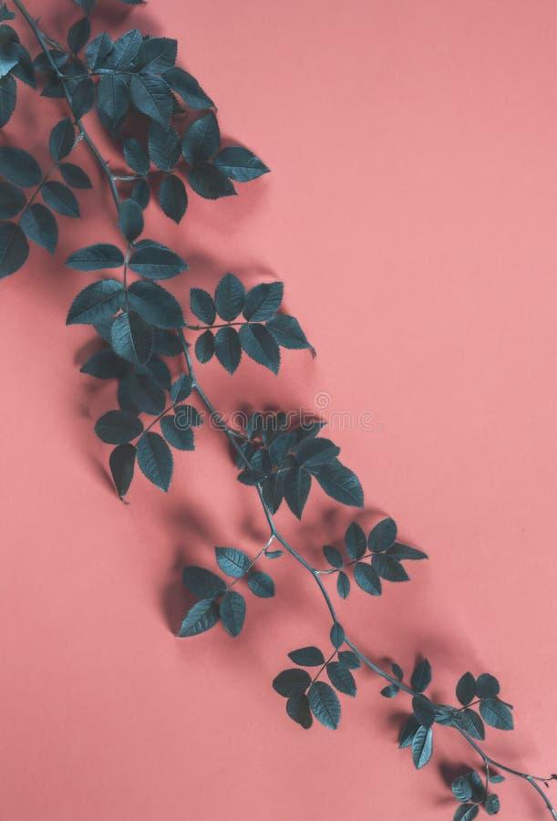 Ramo di albero rosa selvaggio su un fondo di corallo di colore fotografia stock libera da diritti