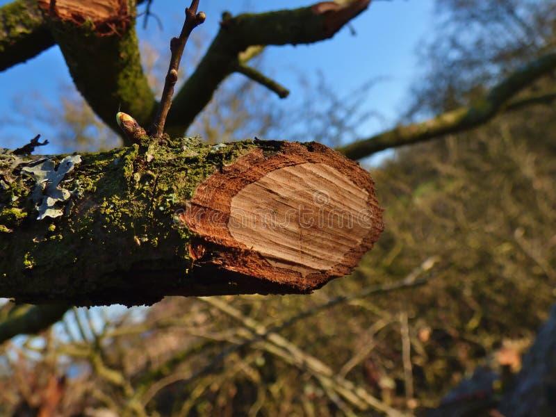 Ramo di albero segato fotografia stock
