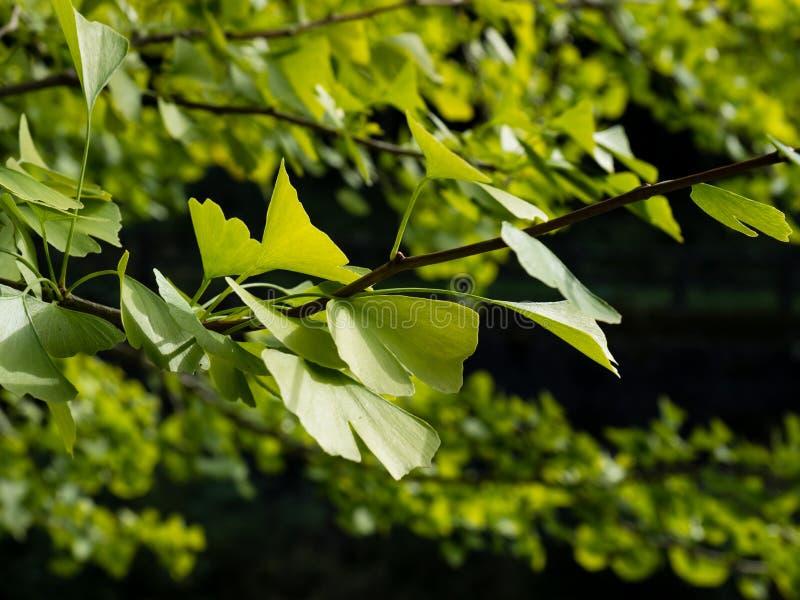 Ramo di albero verde del ginkgo biloba fotografia stock libera da diritti
