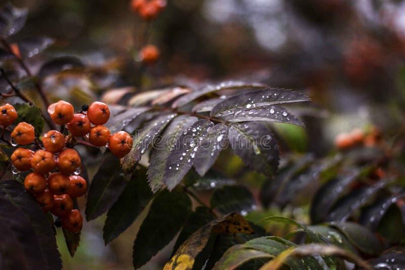 Ramo di autunno di una cenere di montagna con una goccia fotografia stock
