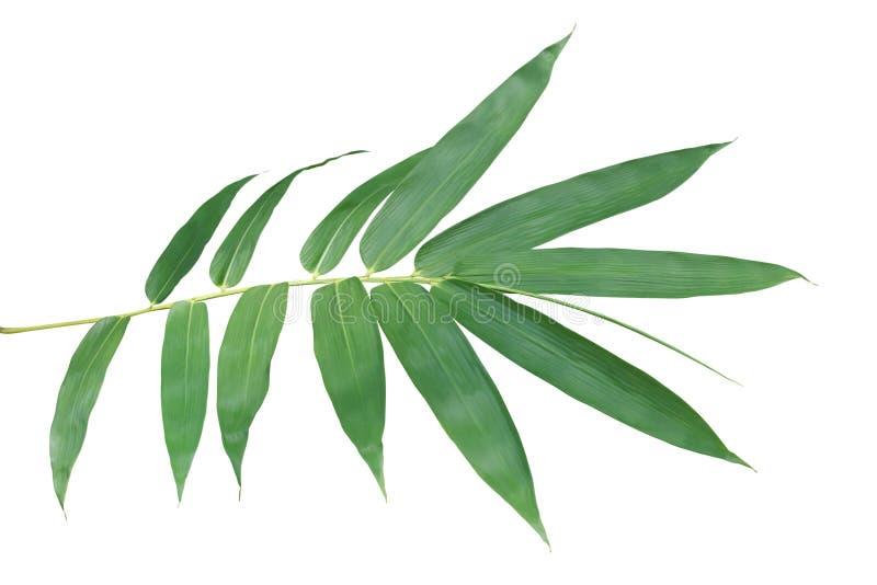 Ramo di bambù con le foglie verdi isolate su fondo bianco fotografia stock libera da diritti