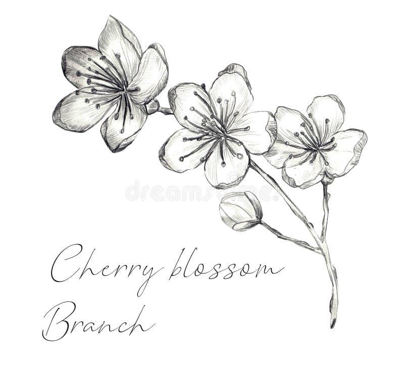 Ramo di Cherry Blossom royalty illustrazione gratis