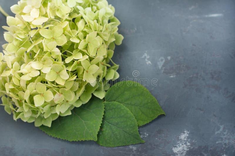 Ramo di fioritura dell'ortensia delle foglie verdi su fondo grigio sotto calcestruzzo fotografia stock