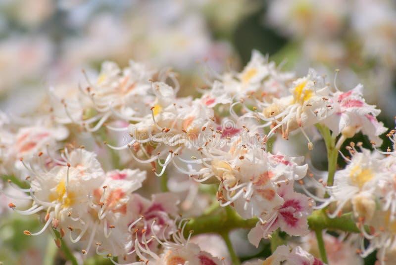 Ramo di fioritura di fioritura della castagna nel primo piano di primavera a maggio nei raggi del sole fotografia stock