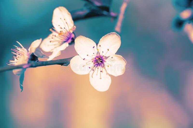Ramo di fioritura della prugna surreal fotografia stock