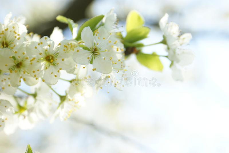 Ramo di fioritura di melo, molla emozionante fotografia stock