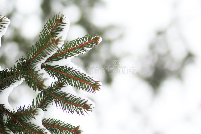 Ramo di Furtree sotto neve immagini stock libere da diritti