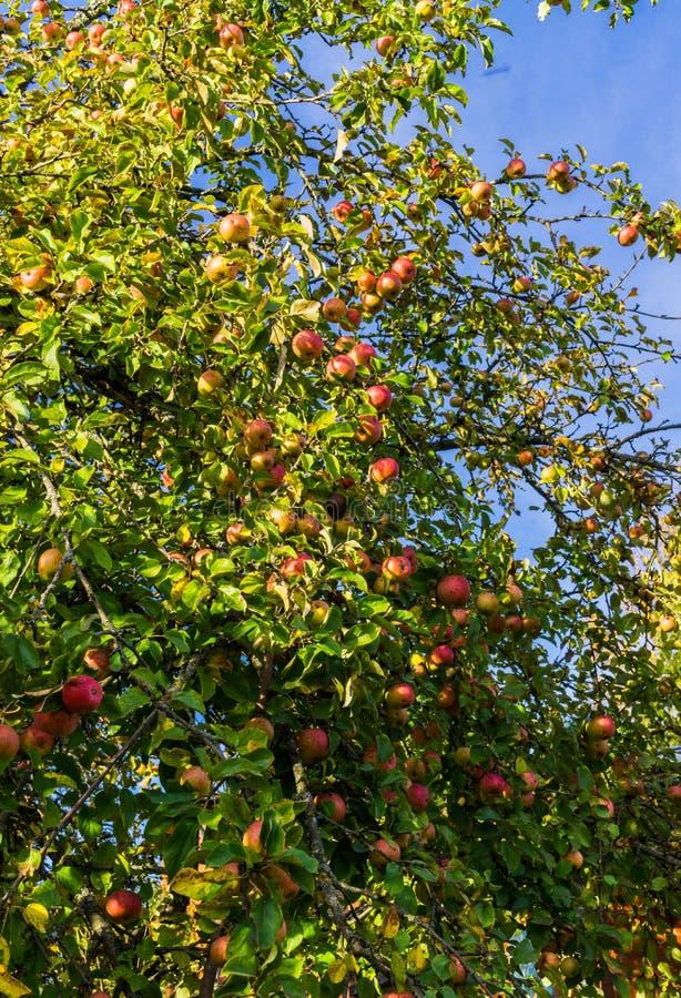 Ramo di di melo che piegano sotto il peso della frutta Frutteto di autunno immagini stock