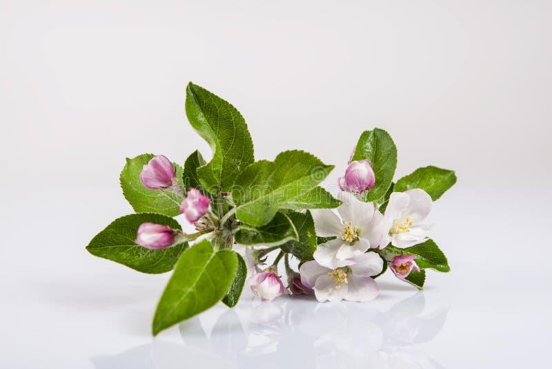 Ramo di di melo con le foglie verdi ed i fiori, su fondo bianco immagini stock libere da diritti